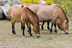 Przewalskis Pferd Lizenzfreies Stockfoto