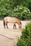 Przewalskis Pferd stockbilder