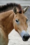 Przewalskis Pferd Lizenzfreie Stockfotos