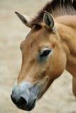 Przewalskis Pferd Stockfotografie