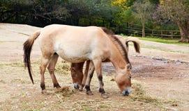 Przewalskis (seltener Pferdezucht) Stockfotos