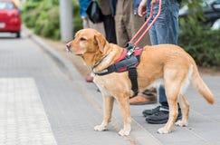 Przewdonika pies pomaga niewidomego mężczyzna Zdjęcia Stock