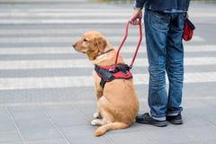 Przewdonika pies pomaga niewidomego mężczyzna Obraz Stock