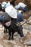 przewożenia Everest ładunków Nepal wędrówki yaks Fotografia Royalty Free