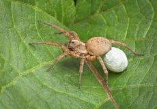 przewożenia skrzynka jajka pająka wilk Zdjęcie Stock