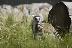 przewożenia dziecka lemur obraz stock