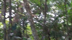 Przewodząca Capuchin małpa zbiory wideo