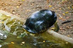 Przewodzący świątynny terrapin żółw o iść pływać w stawie Zdjęcie Royalty Free