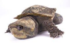 Przewodzący żółw, Platysternon megacephalum Fotografia Royalty Free