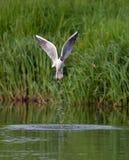 Przewodzący frajerów outflies od rzeki ukazują się z plash zdjęcia stock