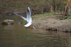 Przewodzący frajer z ryba Zdjęcie Royalty Free