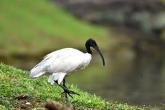 Przewodzący ibis długiego, koślawego czarnego belfra, bez piórek obrazy royalty free