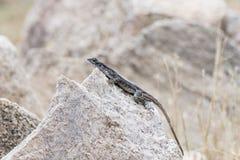 Przewodzący Rockowy Agama & x28; Agama mwanzae& x29; Umieszczający na skale Fotografia Stock