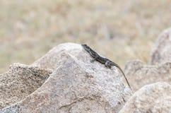 Przewodzący Rockowy Agama & x28; Agama mwanzae& x29; Umieszczający na skale Zdjęcie Stock
