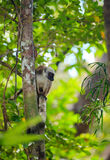 Przewodząca lemura Madagascar przyroda Obraz Royalty Free