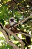 Przewodząca lemura Madagascar przyroda Fotografia Royalty Free