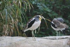 Przewodząca Wattled czajka (Vanellus albiceps) Obrazy Royalty Free