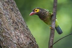 Przewodzący barbet w Minneriya parku narodowym, Sri Lanka Fotografia Stock
