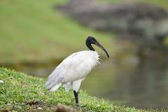 Przewodz?cy ibis d?ugiego, ko?lawego czarnego belfra, bez pi?rek zdjęcie stock