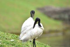 Przewodz?cy ibis d?ugiego, ko?lawego czarnego belfra, bez pi?rek zdjęcie royalty free