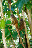 Przewodzący lemura Eulemur albifrons, Madagascar Zdjęcie Royalty Free