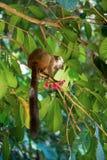 Przewodzący lemura Eulemur albifrons, Madagascar Fotografia Stock