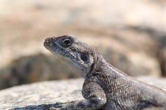 Przewodzący Rockowy Agama Zdjęcie Stock