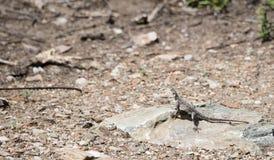 Przewodzący Rockowy Agama Agama agama na skale w Tanzania Fotografia Royalty Free