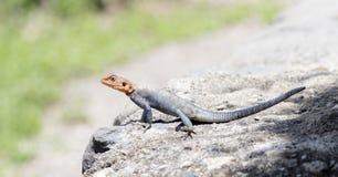 Przewodzący Rockowy Agama jaszczurki Agama agama nagrzanie na skale Obrazy Royalty Free