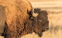 Przewodzi strzał byka bizon, żubr w trawy polu obrazy stock