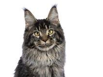 Przewodzi strzał młody dorosły cykający Maine Coon kot zdjęcie stock