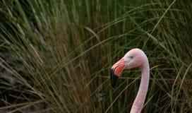 Przewodzi strzał w górę kolorowego różowego flaminga, zamazany tło wysokie trawy fotografia royalty free