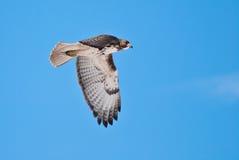 przez błękitny lota jastrzębia czerwonego niebo ogoniastego Fotografia Stock