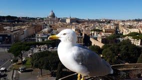 Przez della Conciliazione, St Peter ` s bazylika, świętego Peter ` s kwadrat, ptak, frajer, seabird, charadriiformes obraz royalty free