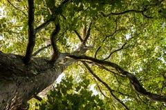 Przez dużego płaskiego drzewa korony widoku Obrazy Stock