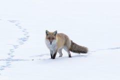 przez lisa śniegu odprowadzenie Obraz Stock