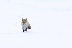 przez lisa śniegu odprowadzenie Fotografia Royalty Free