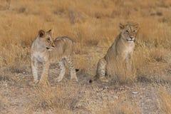 przez lisiątek lwa sawannę dwa target2027_1_ Obrazy Royalty Free