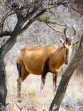 Przez przerwy w krzaku w Mokala parku narodowym w Południowa Afryka czerwoni hartebeest rówieśnicy Fotografia Stock