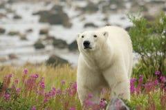 Przezornie niedźwiedzia polarnego zakończenie bardzo obraz stock