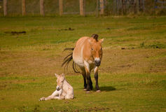 Przhevalsky horse with foal Royalty Free Stock Images