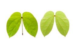 Przodu i plecy Zielony liść odizolowywa na białym tle Zdjęcie Stock