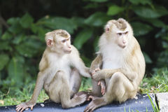 Przy Khao park narodowy ogoniasty makak Yai Fotografia Royalty Free