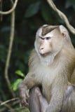 Przy Khao park narodowy ogoniasty makak Yai Zdjęcia Stock