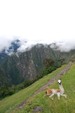 Przy Machu dziecko lama Picchu. Peru Zdjęcie Stock