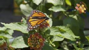 Przy Mackinac Wyspą monarchiczny motyl Fotografia Royalty Free