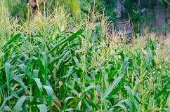 Przy Nonthaburi kukurydzana Roślina Tajlandia Zdjęcia Royalty Free