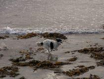 Przy plażą działający pies zdjęcie royalty free