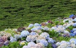 Przy Sao herbaciana plantacja Miguel 02 (Acores) Zdjęcie Royalty Free