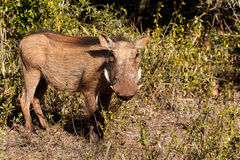 Przy Tobą - Phacochoerus africanus pospolity warthog Obrazy Stock